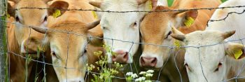 marhák egy drótháló mögött