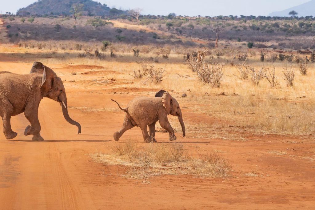 elefántok egy szafariban