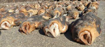 elpusztult baglyok sora